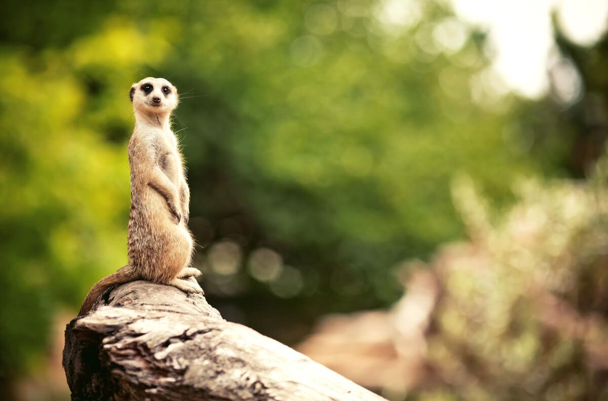 Los suricatos son animales que viven en madrigueras.