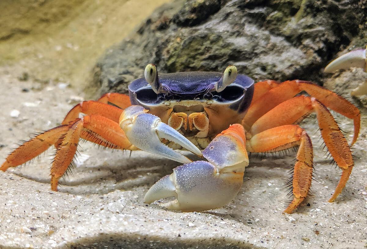 Un cangrejo sobre un sustrato de tipo arena.