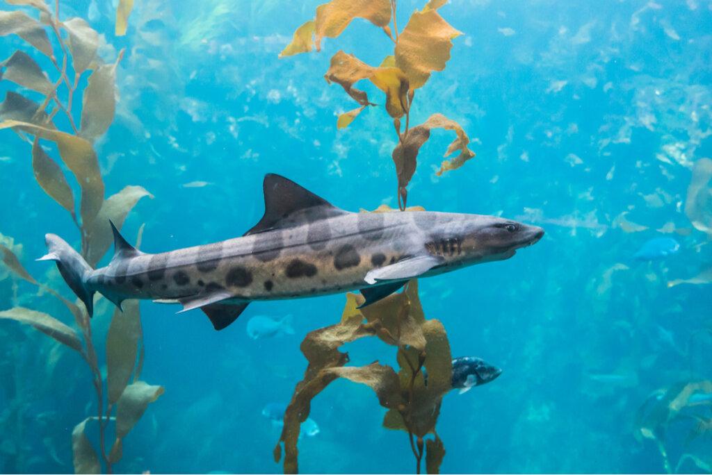 6 curiosidades del tiburón leopardo