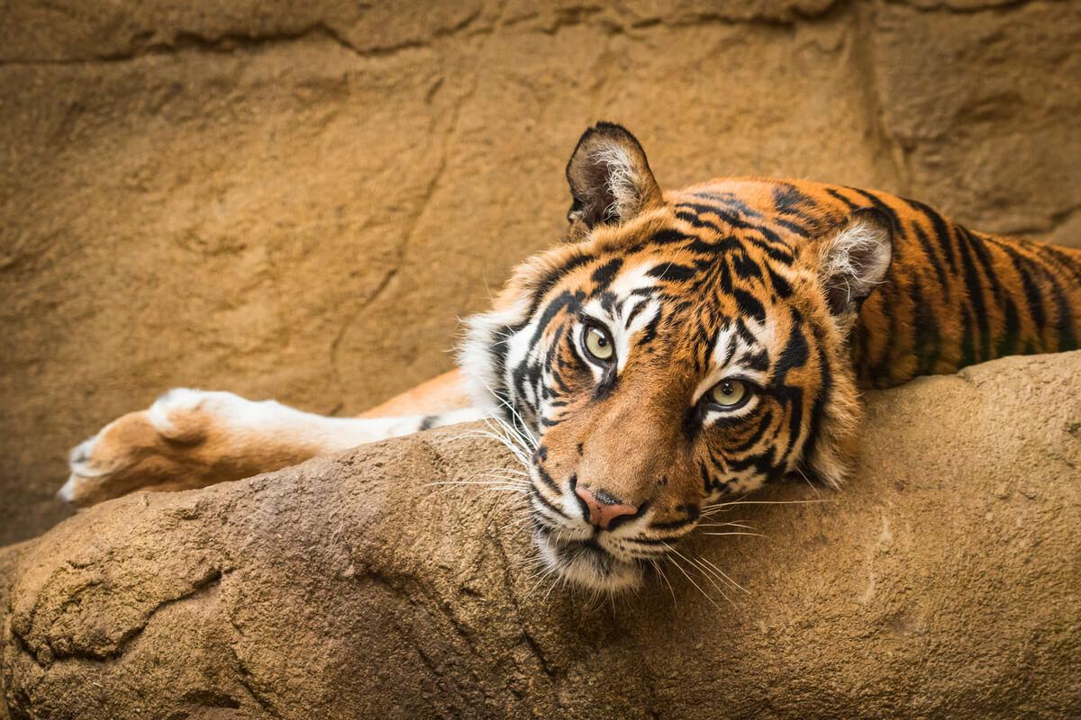Un tigre dans un zoo.
