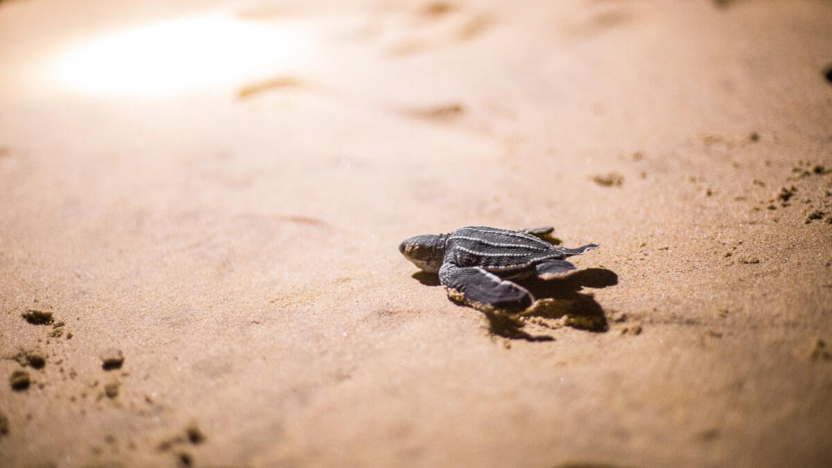 Una tortuga laúd se dirige al mar.
