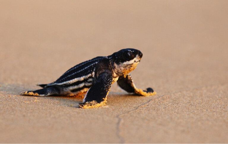 Las crías de tortuga laúd: ¿por qué se desorientan?