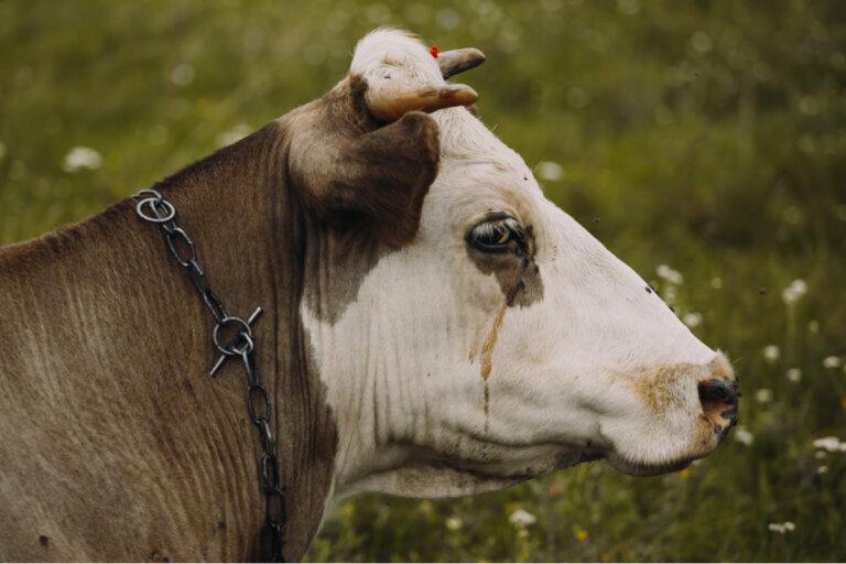 ¿A qué se refieren los ganaderos cuando hablan de la tristeza bovina?
