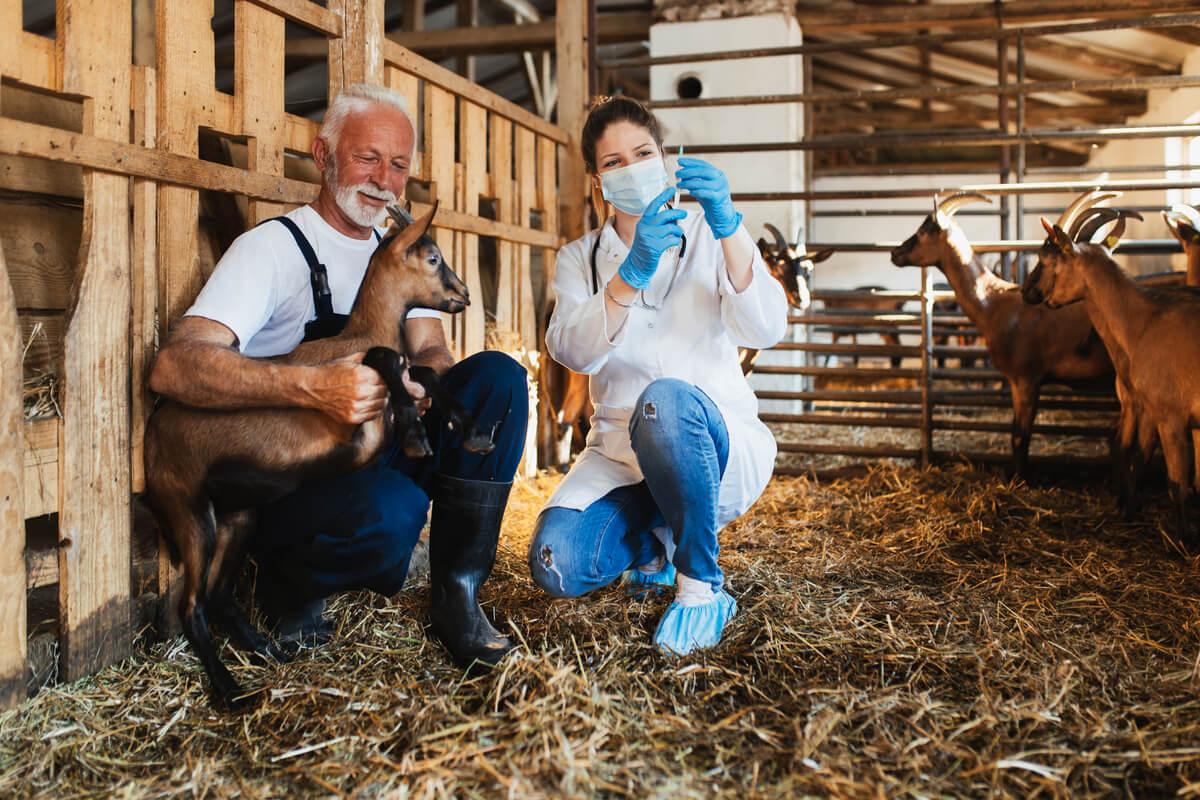 Una cabra siendo vacunada.