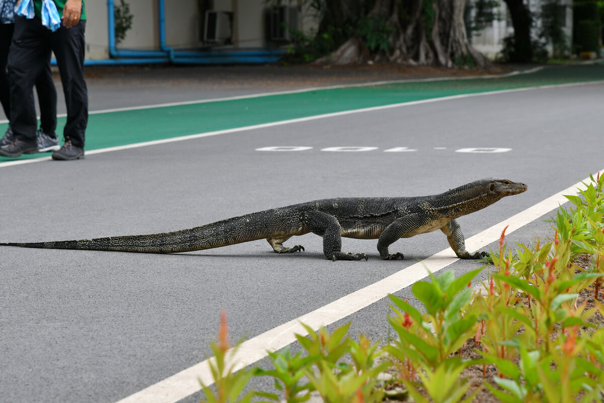 Un varanus salvator cruza una carretera.
