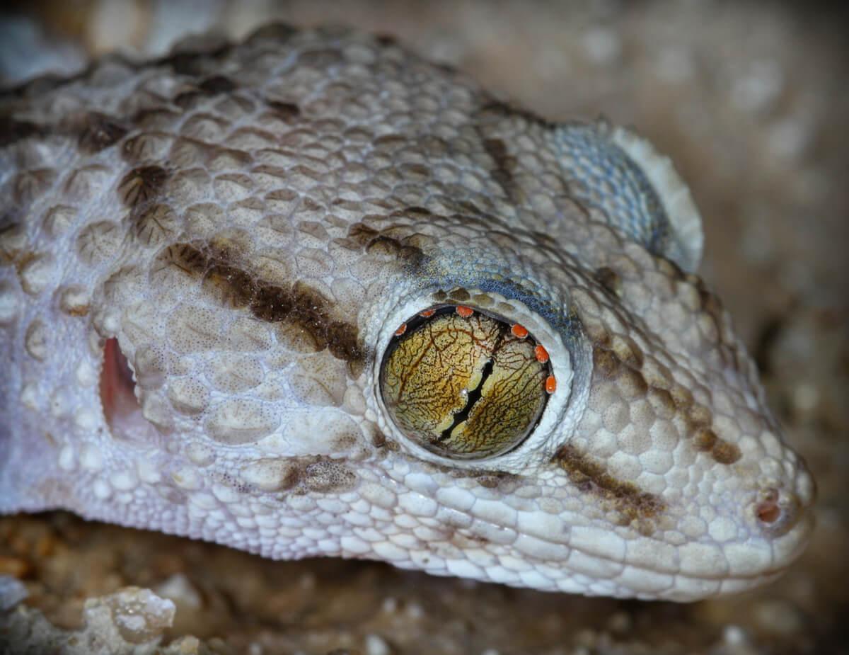 Un ejemplo de ácaros en los ojos de los reptiles.