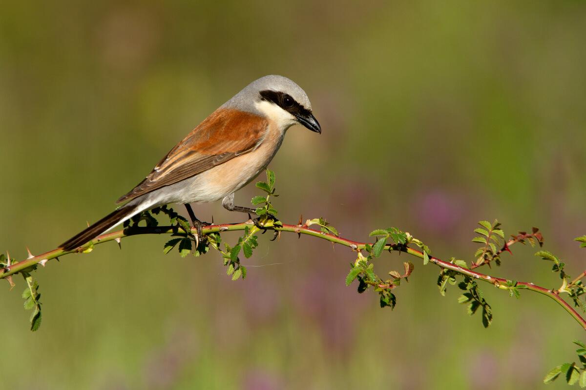 El alcaudón dorsirrojo es otro de los pájaros verdugos.