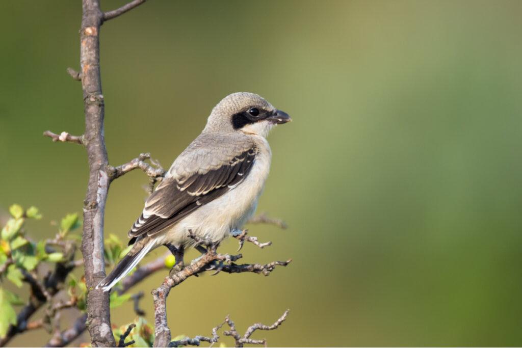 Los pájaros verdugos que hacen temblar a las rapaces