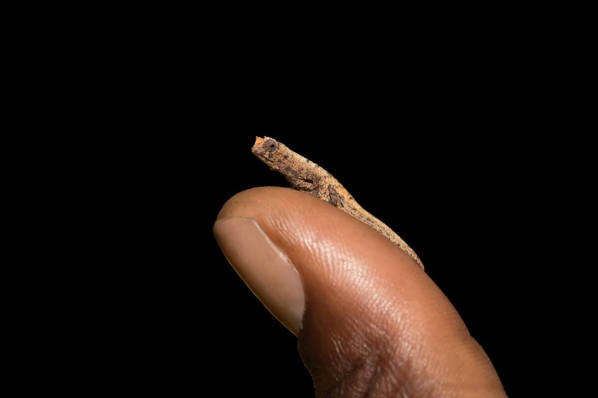 Un camaleón enano sobre un dedo.