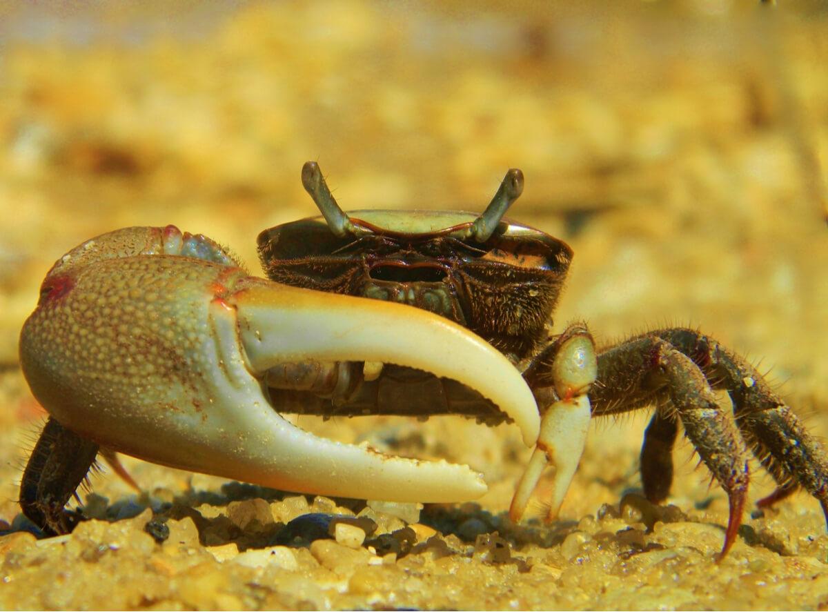 Un crabe.