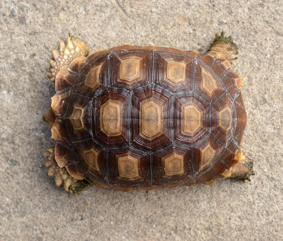El caparazón de una tortuga.