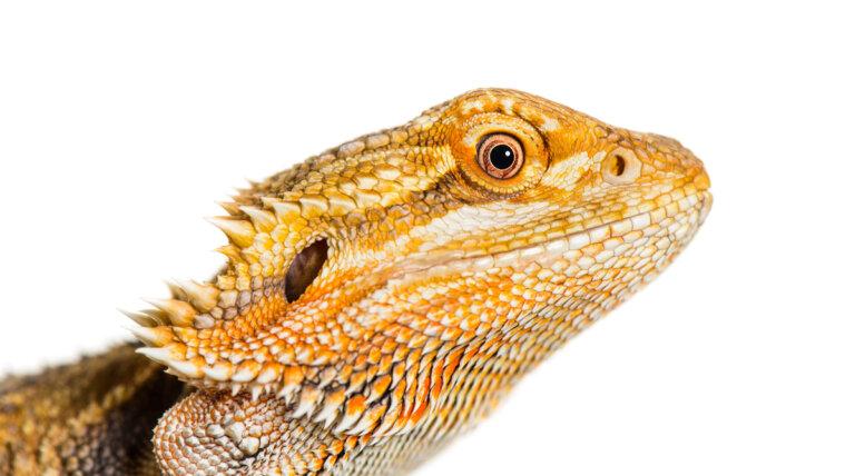 4 curiosidades de los dragones barbudos