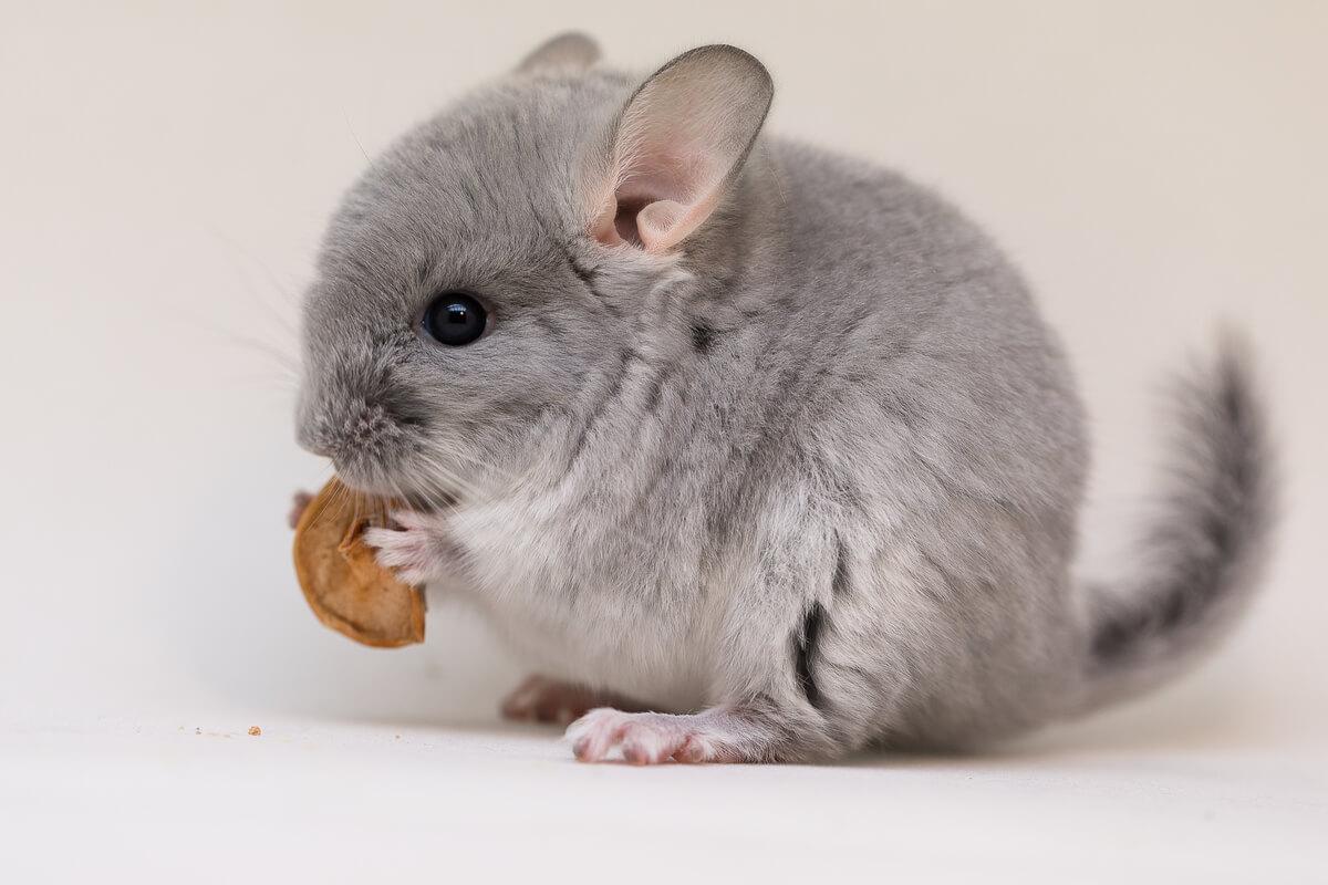 Una chinchilla comiendo.
