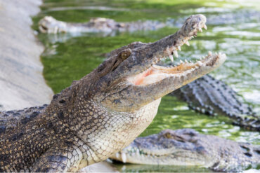 6 datos curiosos sobre los cocodrilos