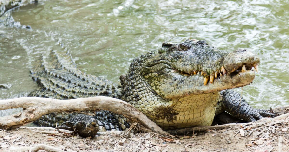 Un cocodrilo apoyado en una rama.