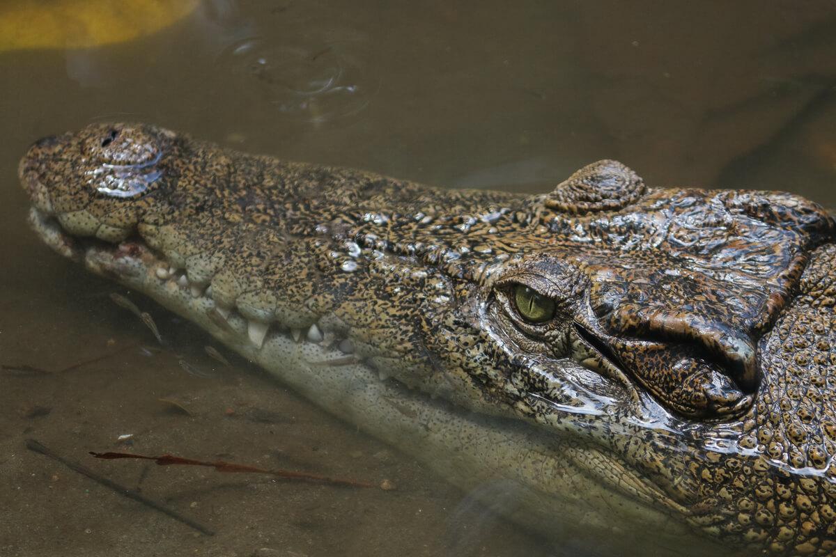 Il volto di un coccodrillo.