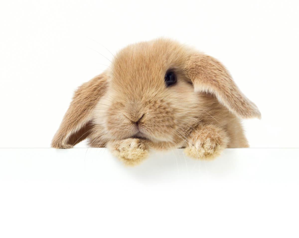 Un conejo Belier sobre fondo blanco.