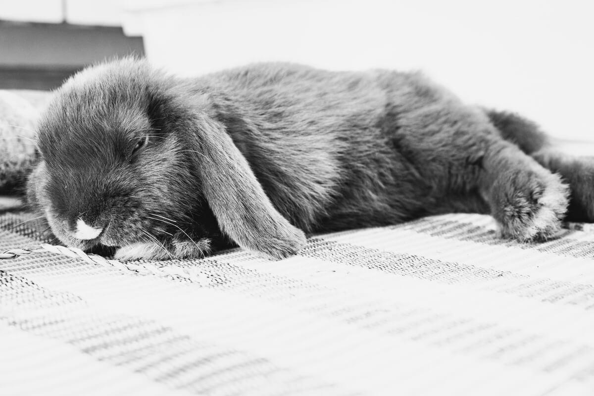 Un conejo belier tumbado.