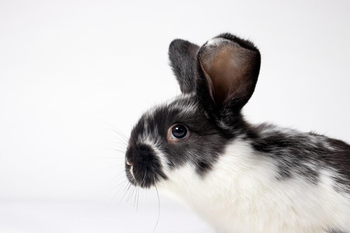 Coccidiosis en conejos: causas, síntomas y tratamiento
