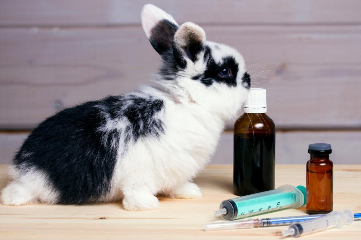 La otitis en conejos puede ser severa.
