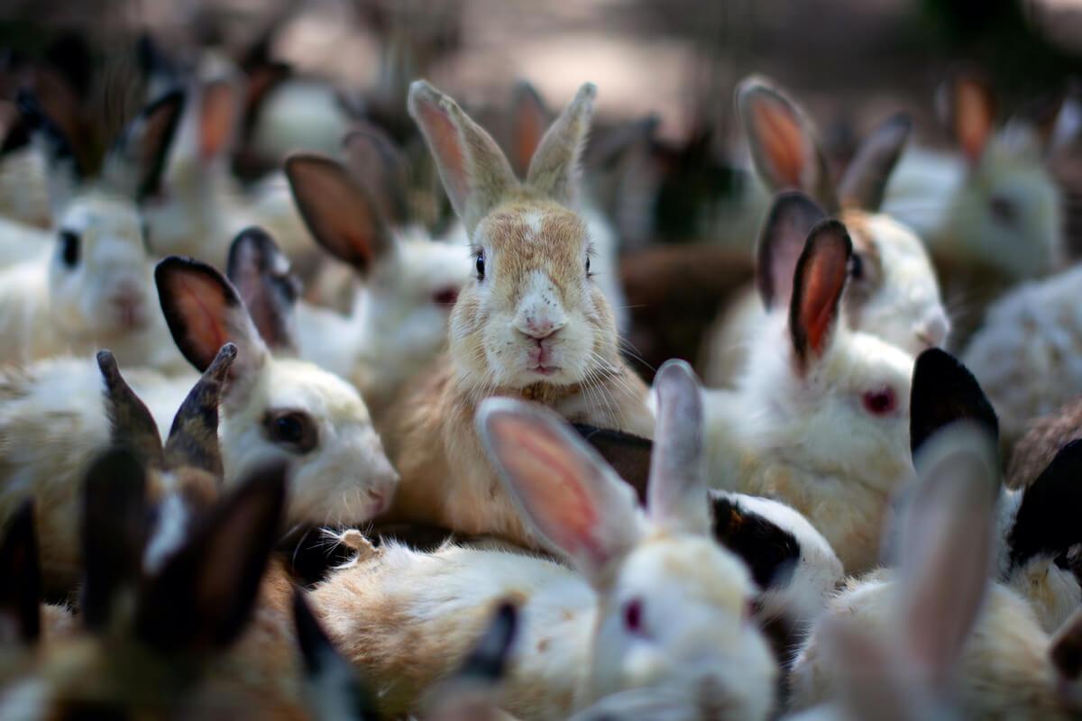 Un grupo grande de conejos.