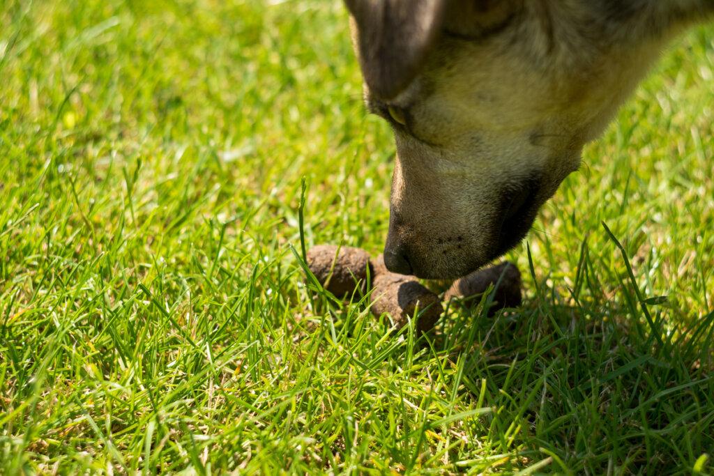 Coprofagia en perros: ¿cuáles son las razones?