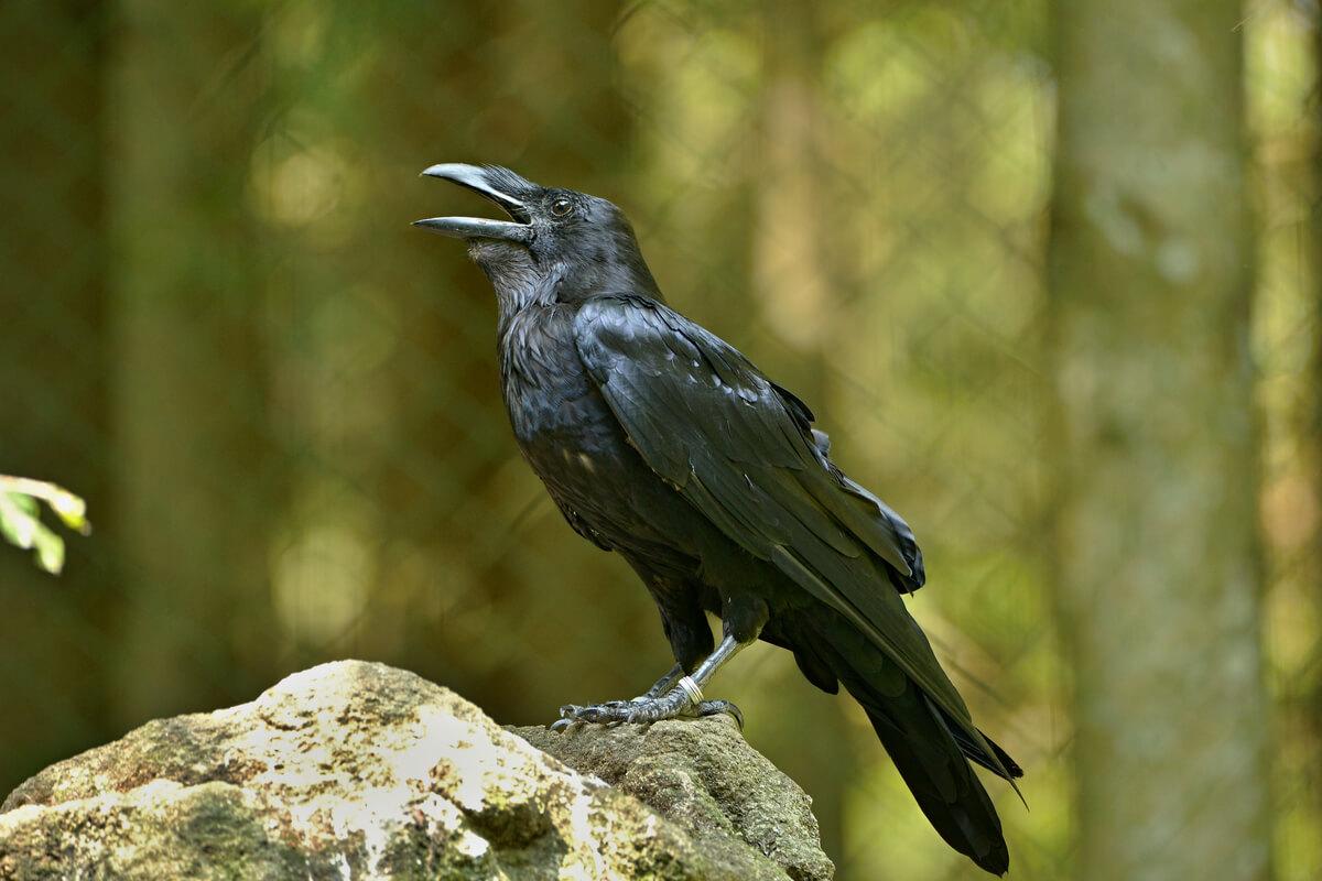 Les corbeaux et leurs proches.