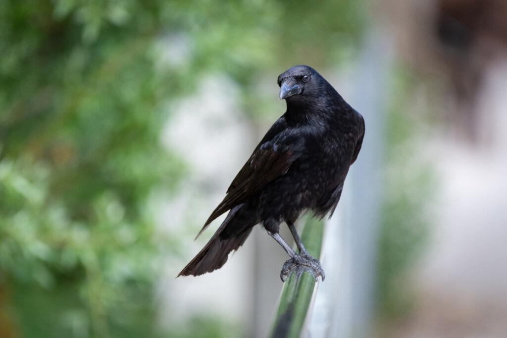 Los cuervos y sus parientes: ¿merecen ser considerados malévolos?
