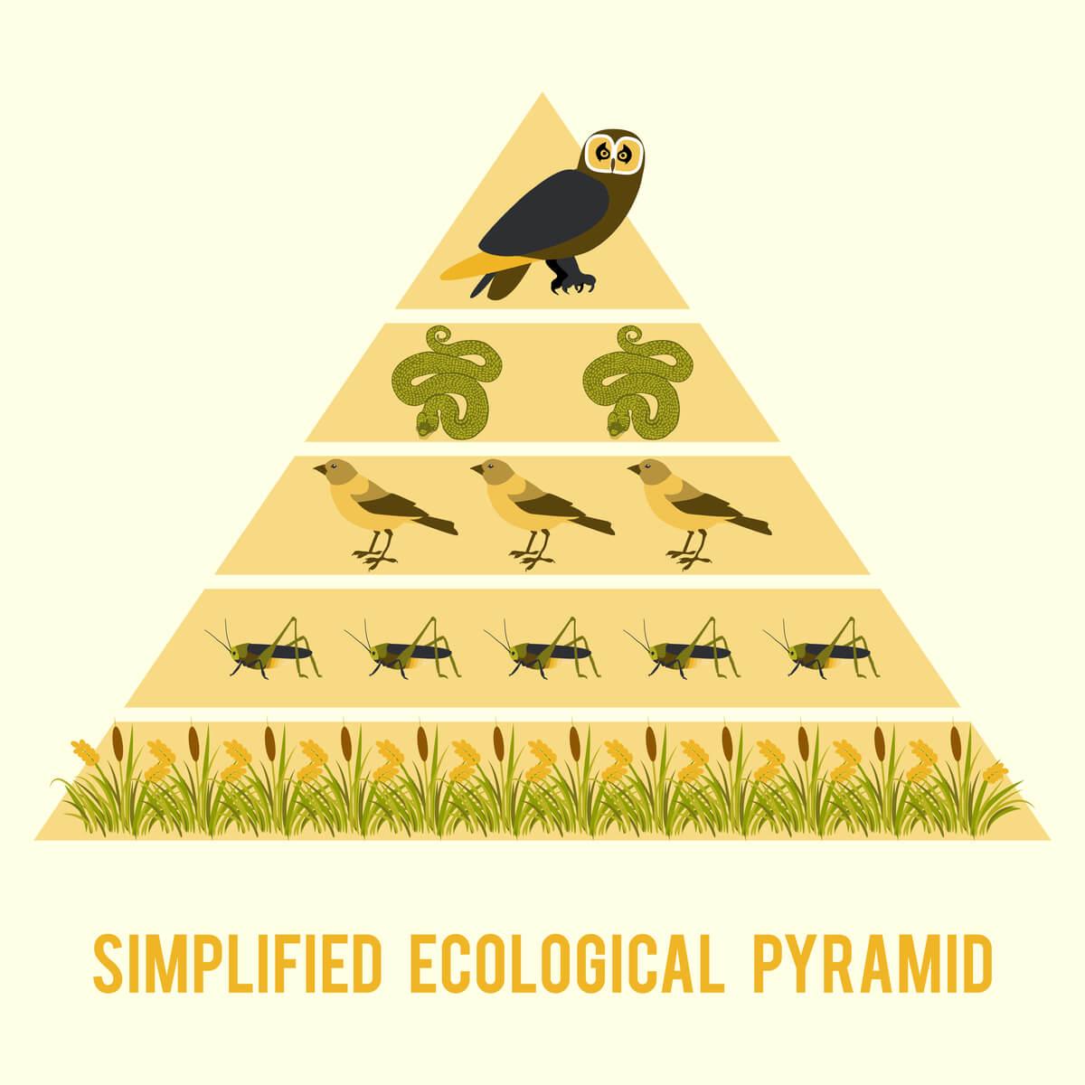 Un ejemplo de una pirámide trófica.