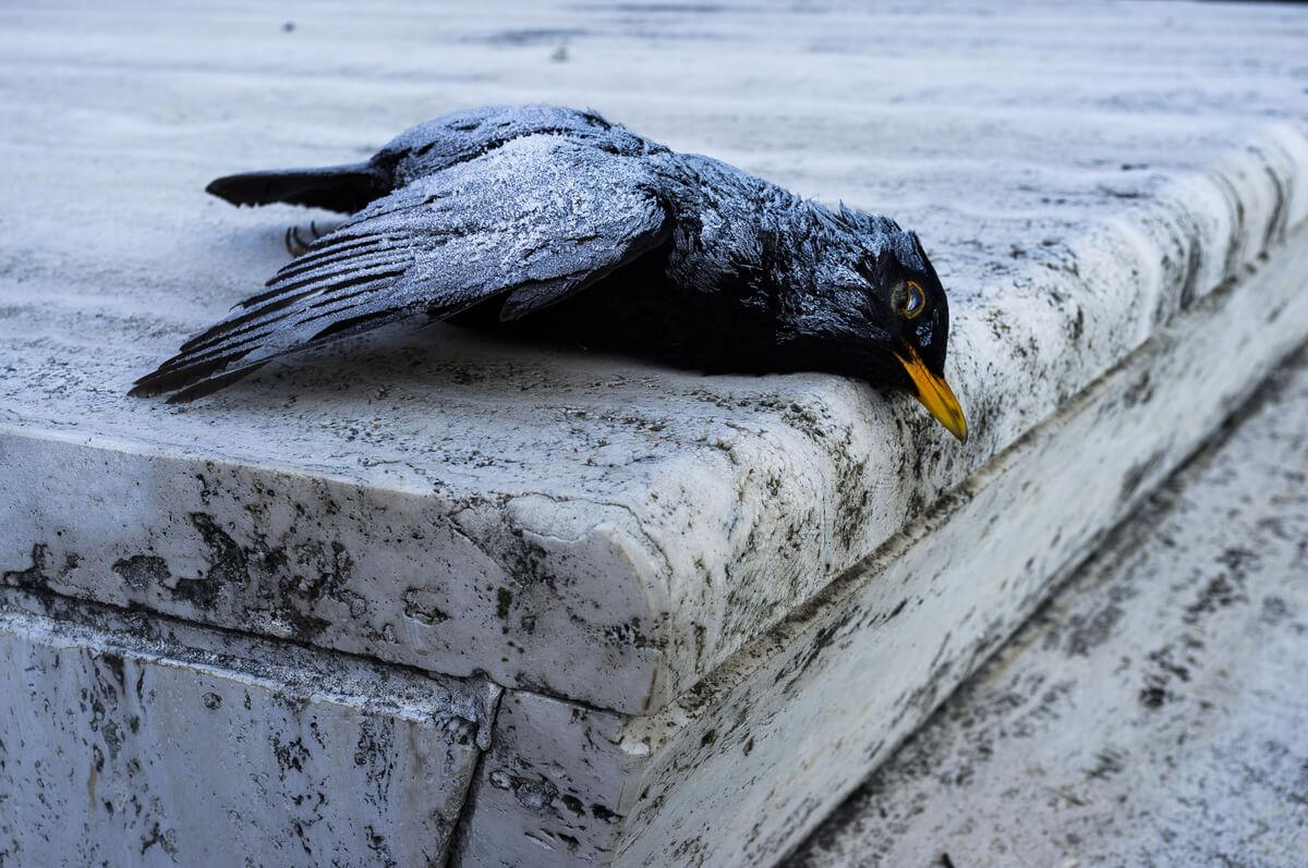 Cientos de pájaros muertos por los efectos de la pirotecnia en Roma