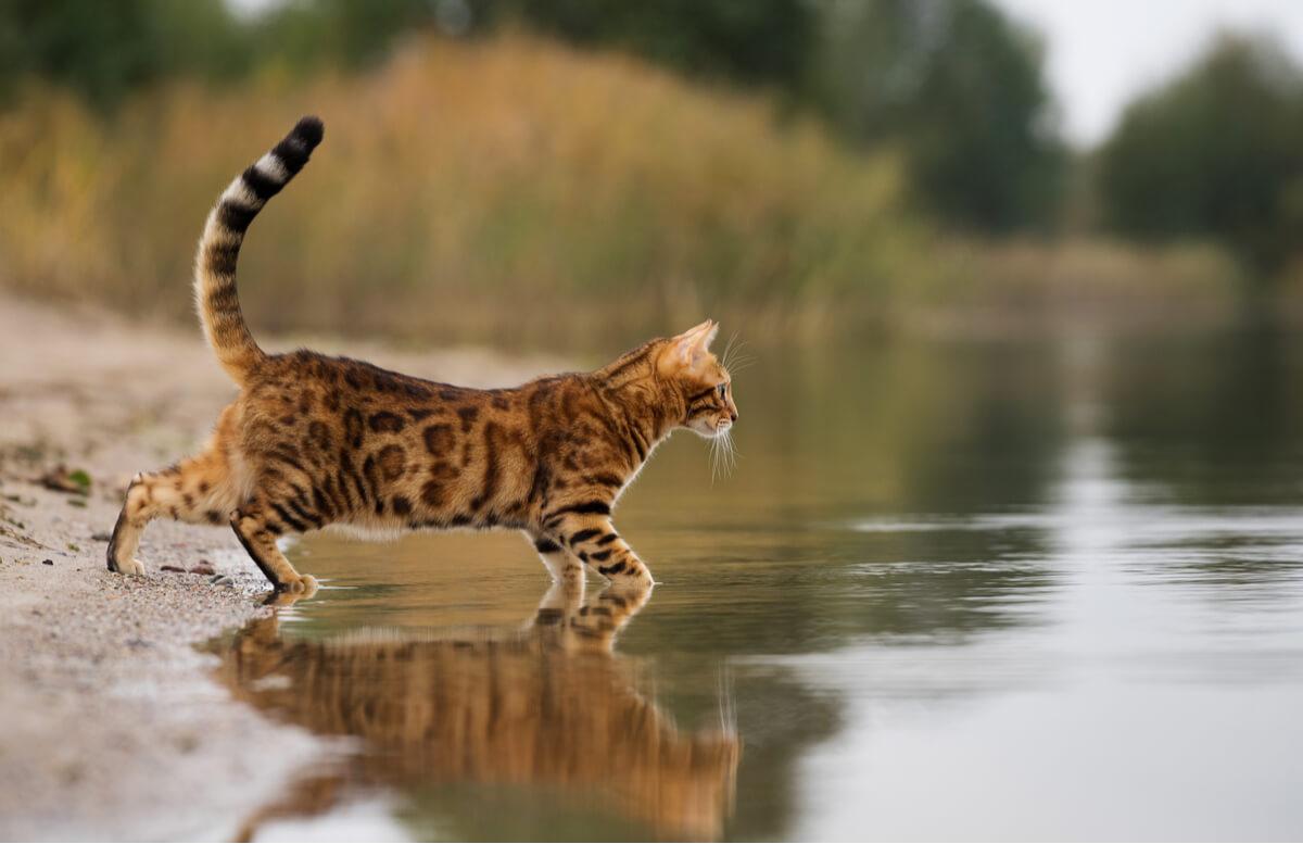 Un gato de Bengala se da un baño.