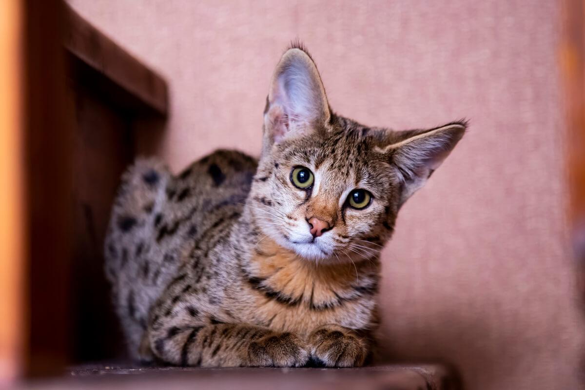 Una de las razas de gatos más agresivas.