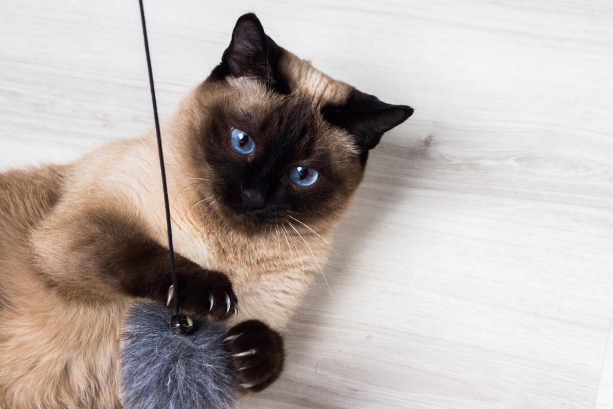 Un gato siamés con una bola de pelo.