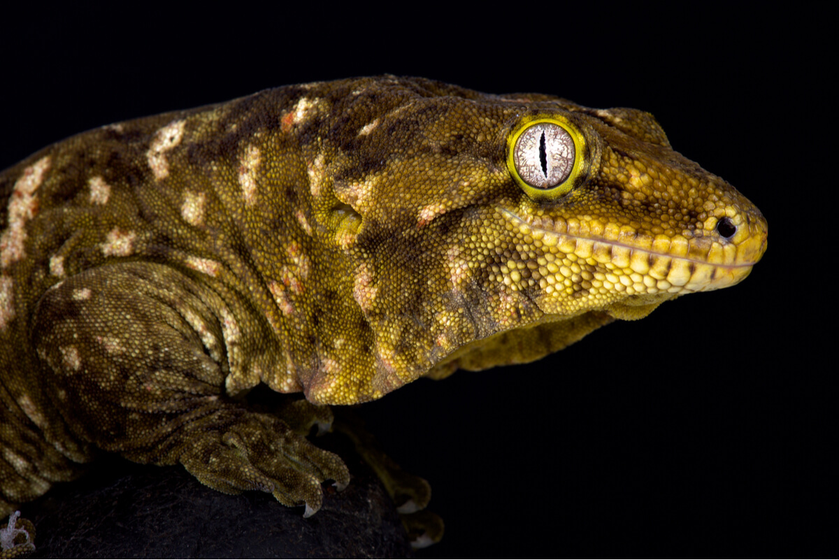 Rhacodactylus leachianus: cuidados en cautiverio