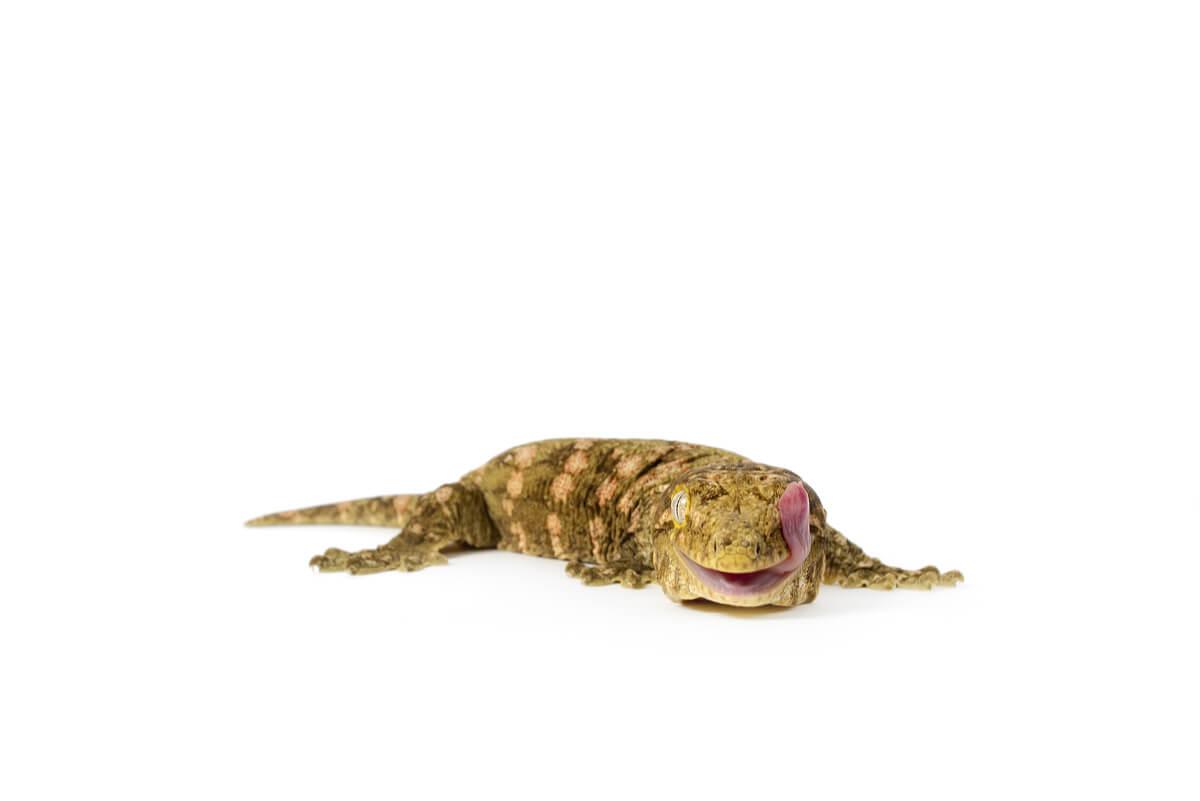 Un gecko grande sobre un fondo blanco.