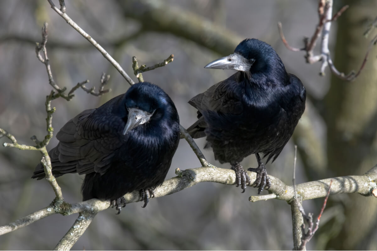 La tour est un animal très similaire au corbeau.
