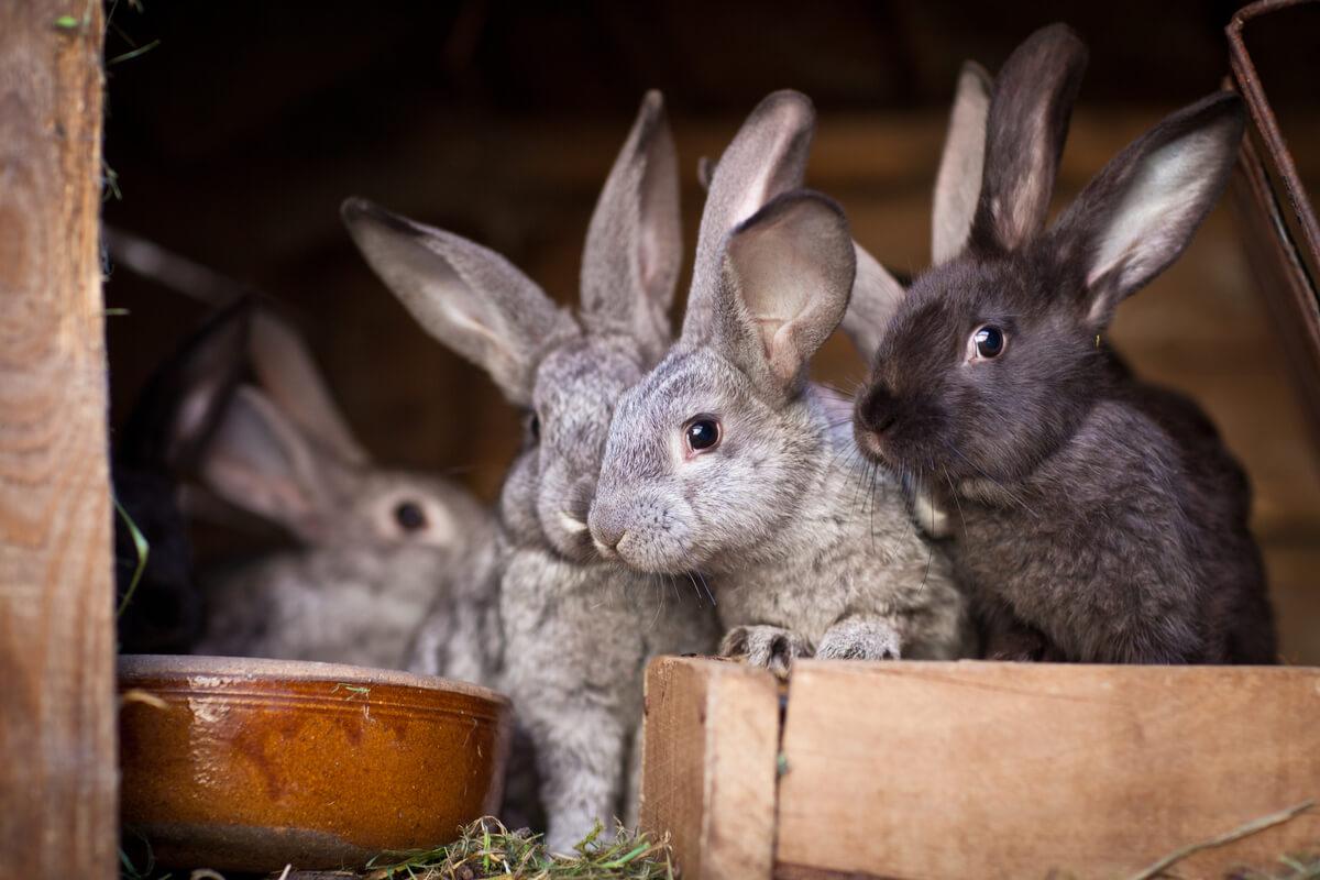Una granja intensiva de conejos.