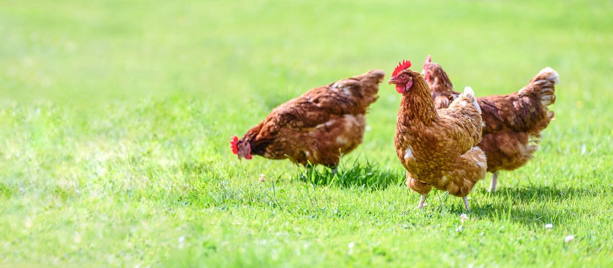 Un grupo de gallinas.
