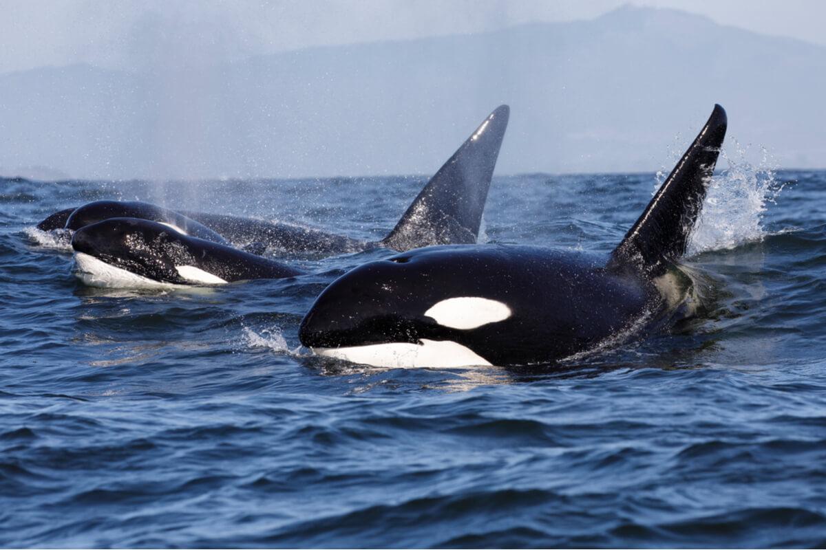 Las orcas son depredadores del delfín.