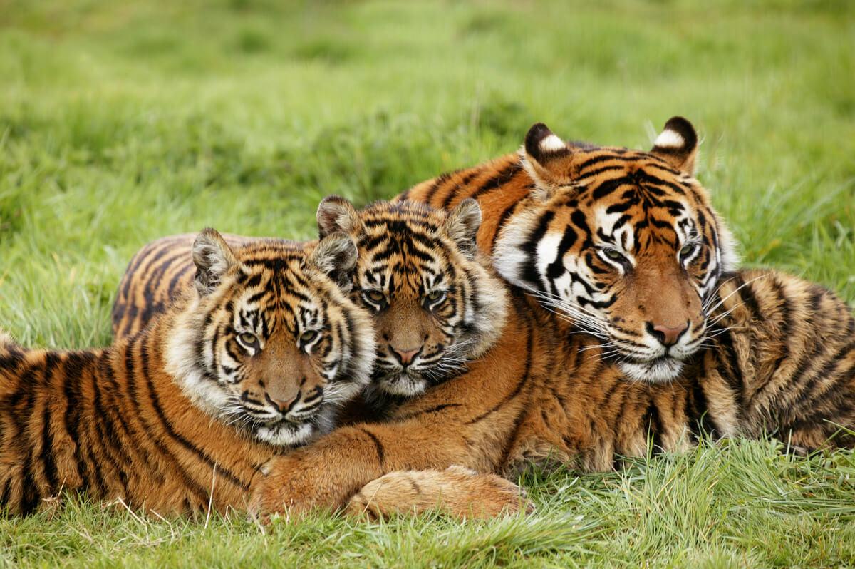 Un grupo de tigres de Sumatra.