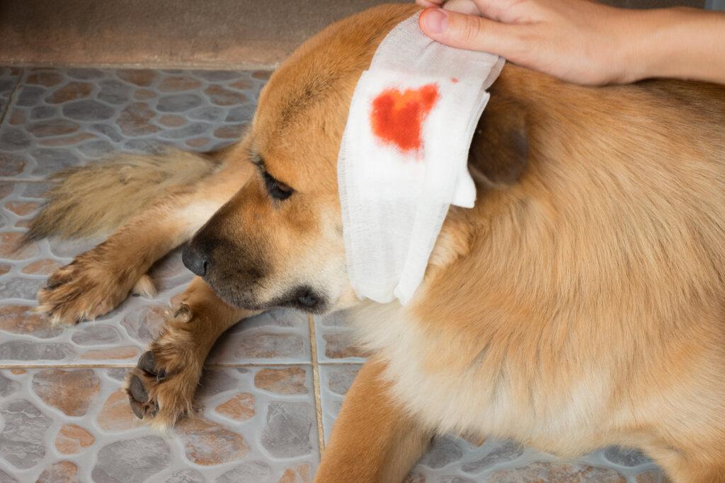 ¿Cómo cuidar las heridas en los perros?