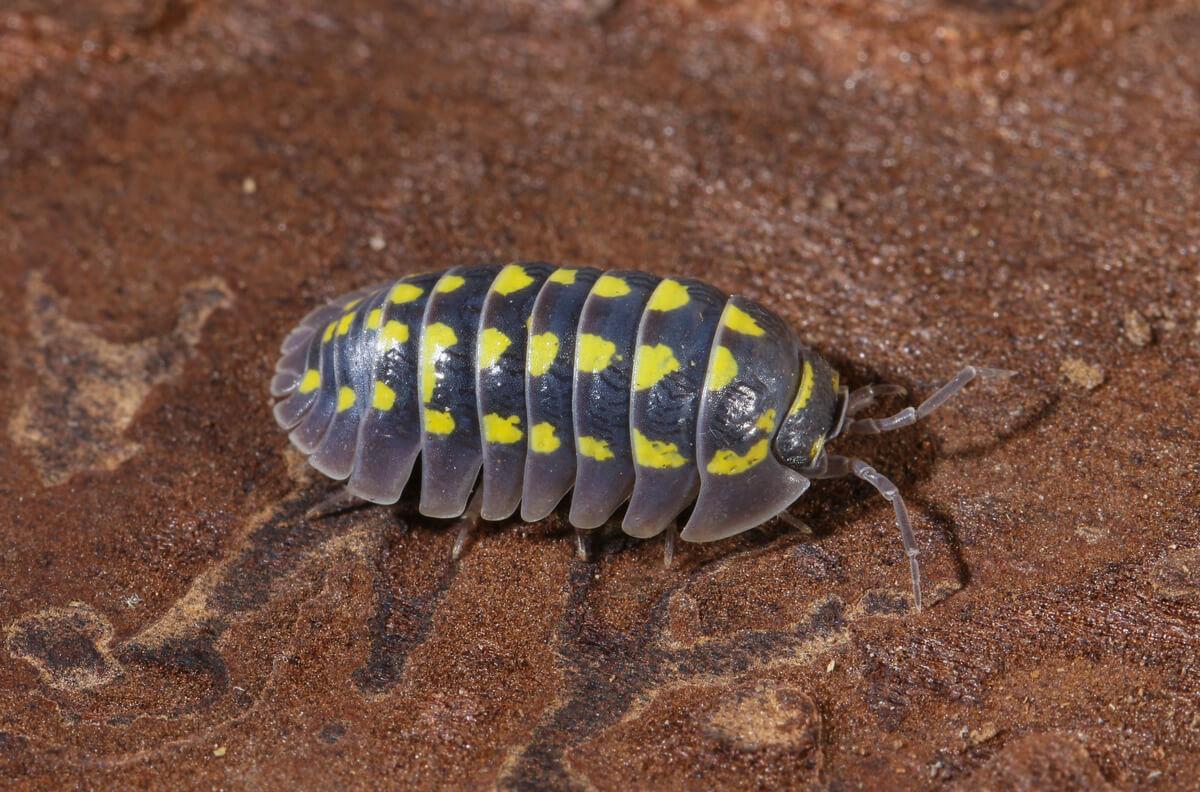 Los isópodos se pueden criar en cautiverio.