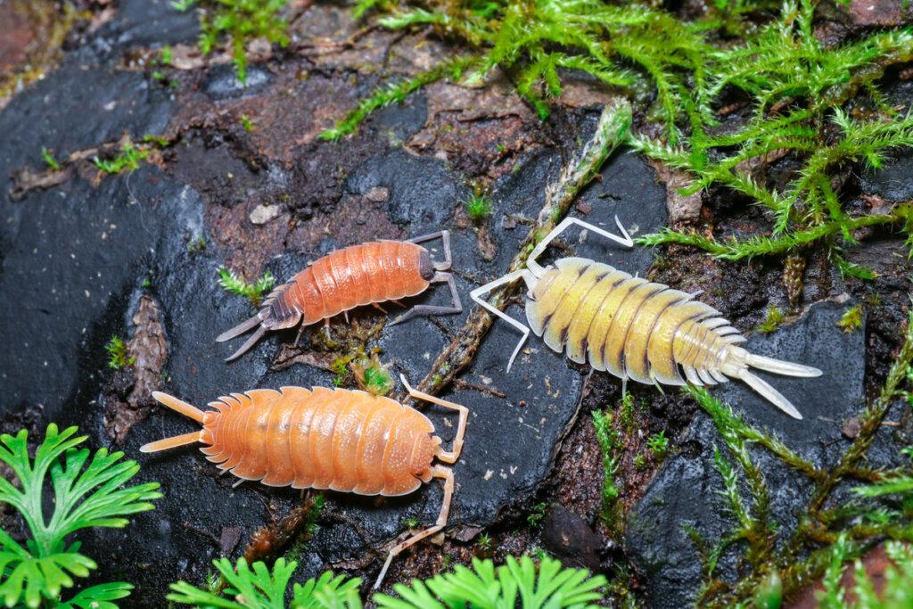 Cuidado de isópodos en cautiverio: todo lo que debes saber