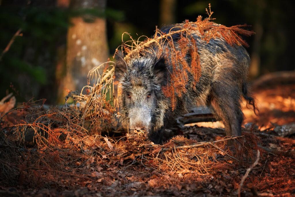 El jabalí, un inesperado depredador