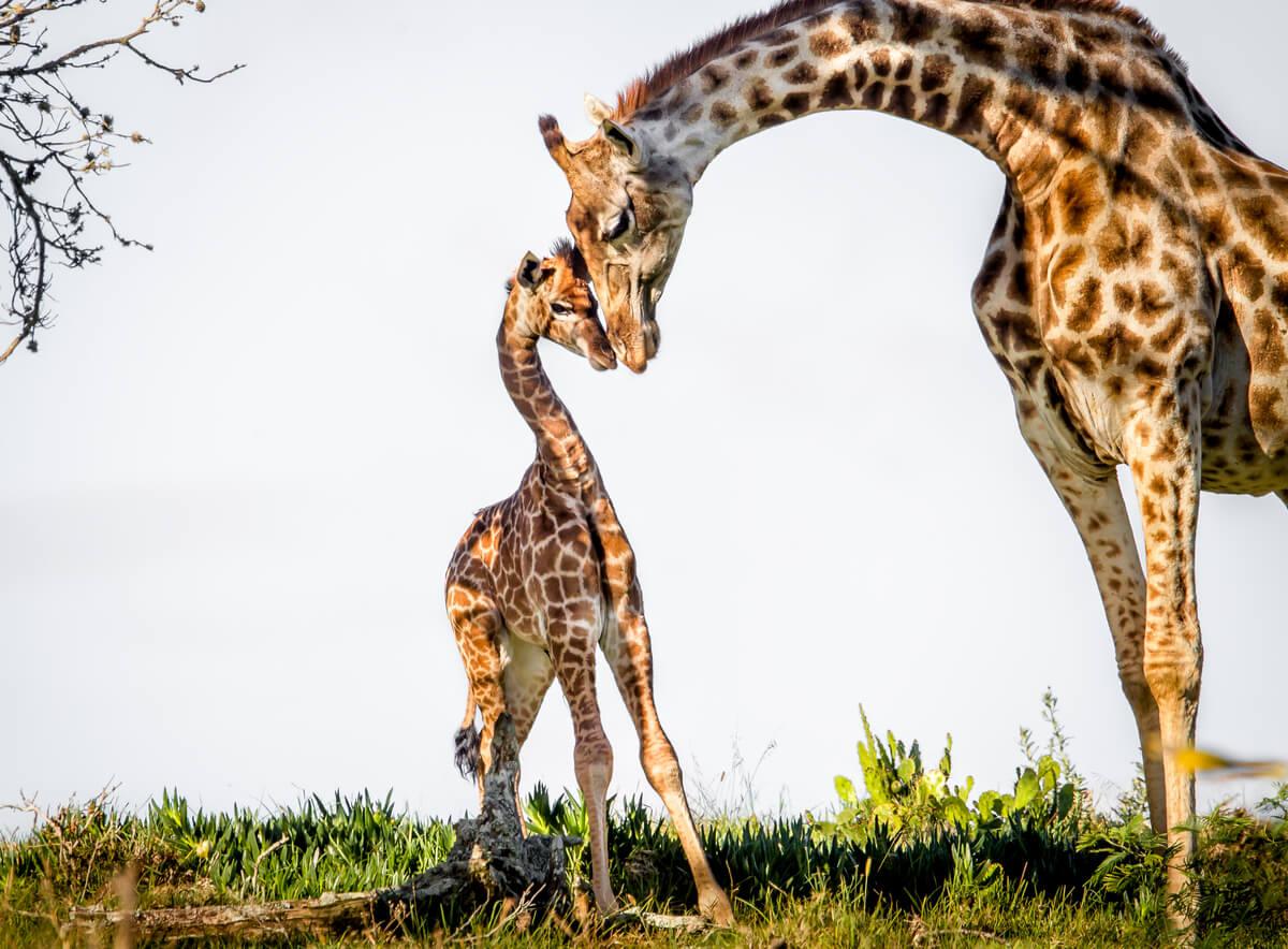 Las jirafas son animales que duermen de pie.