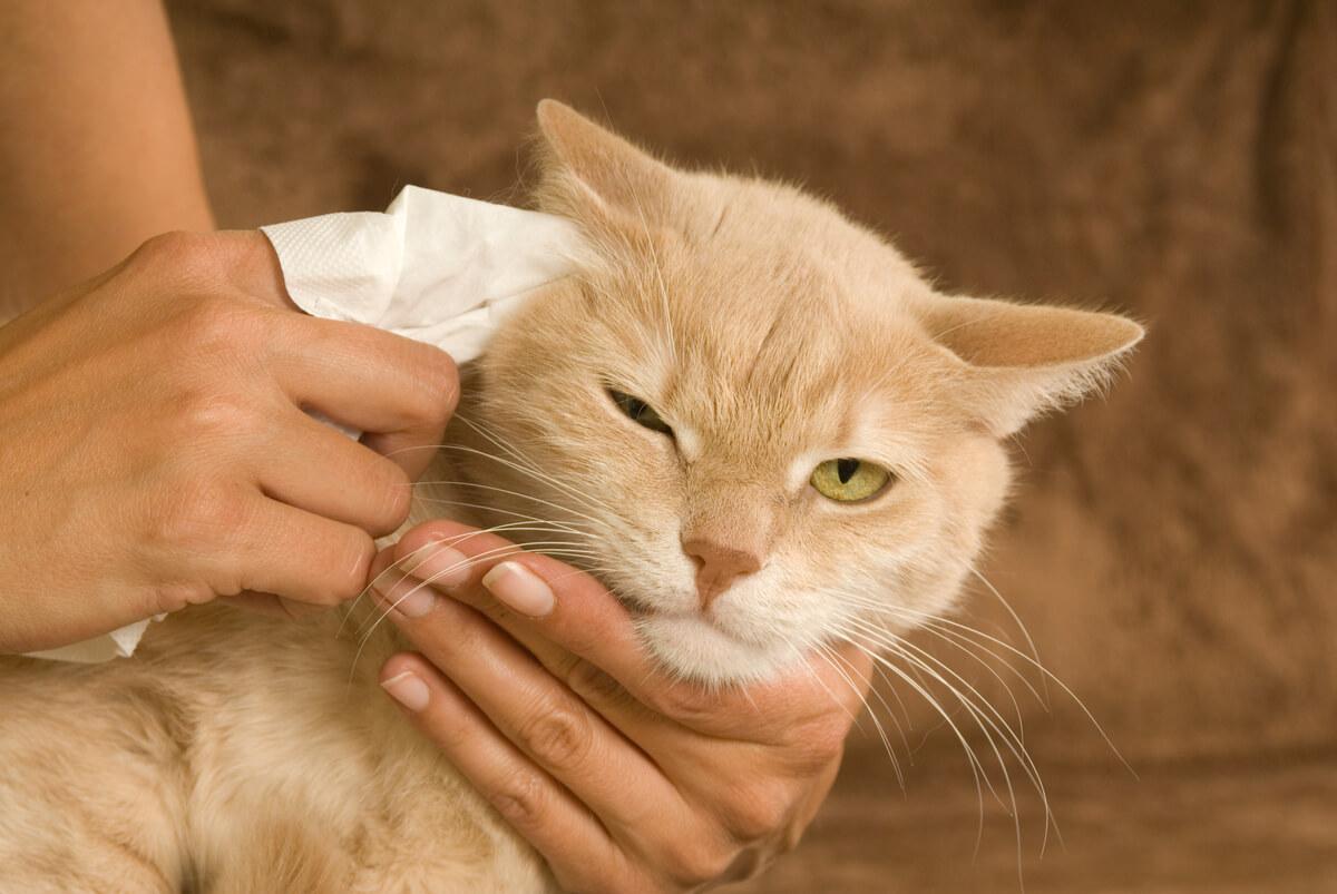 La limpieza de los ojos de los gatos es esencial.