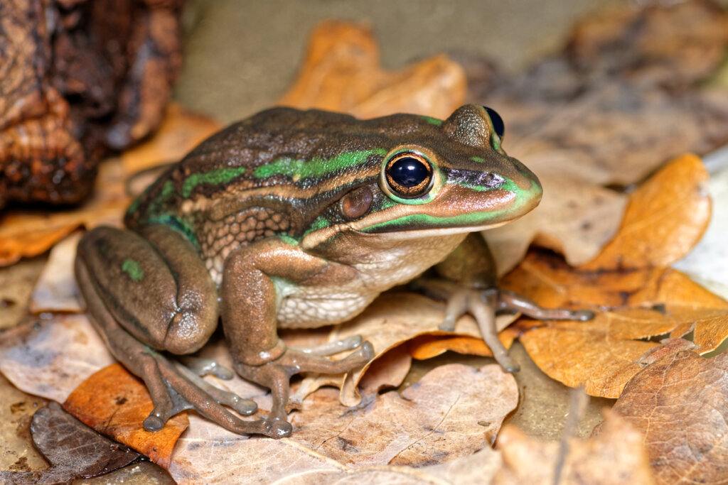 Litoria aurea: cuidados en cautiverio