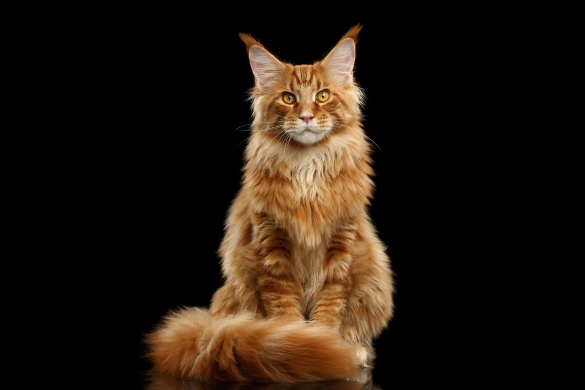 Una de las razas más agresivas de gatos.