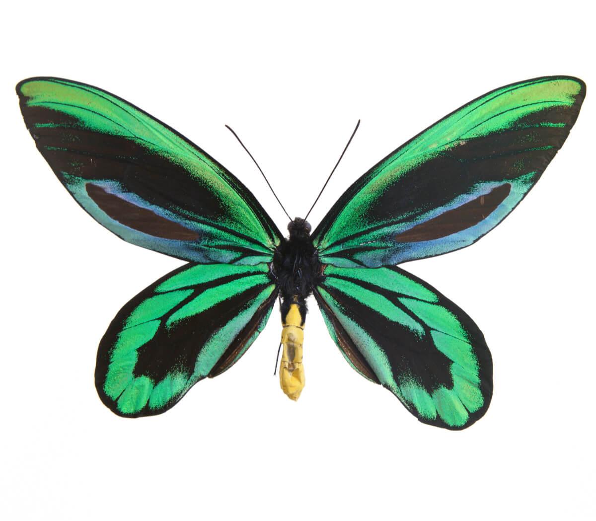 El insecto más grande del mundo.