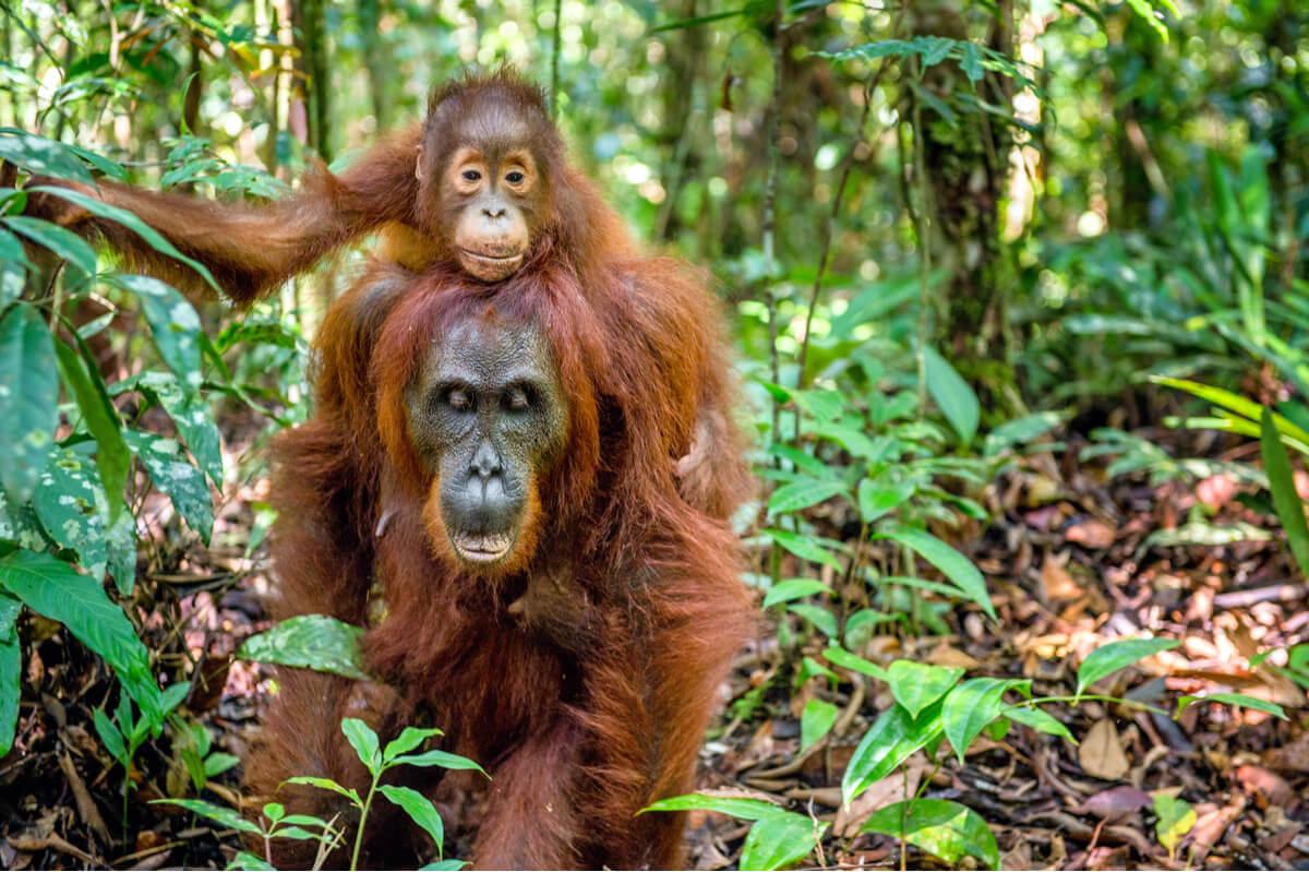 Los orangutanes hembra son de las mejores madres de la naturaleza.